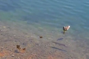 Fish Eats Small Duck