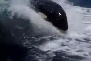 Orcas Swiming Next To The Boat