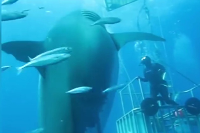 Divers encounter with massive shark
