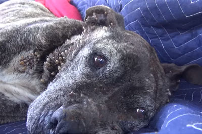 A Sick, Neglected Pit Bull Gets Abandoned On A Bridge And Left To Die