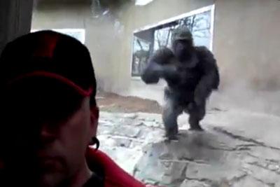 When A Gorilla Tries To Attack You Through Glass