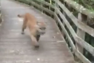 Woman From Florida Captures This Video Of Encounter With Cougar