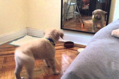 Golden Retriever Puppy Sees Its Reflection For The First Time, Tries To Make Friends With Itself