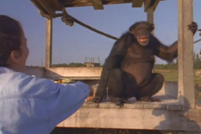 She's Worried Chimp Won't Recognize Her After 18 Years, But Then Reaches Out Her Hand