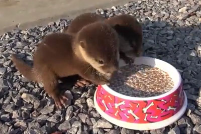 Baby Otters Feeding Time Is A Cutest Moment You Will Witness Today