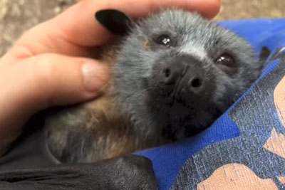 Juvenile Bat Squeaks So Cute While Being Tickled