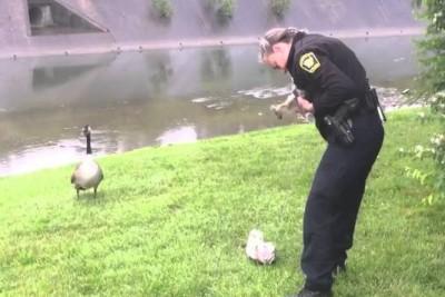 Mother Goose Thanks Cincinnati Police For Saving Her Goslings
