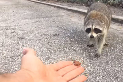 He Placed Some Food At The Tips Of His Fingers, Then He Got Bitten By A Raccoon