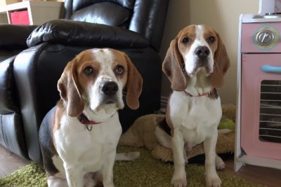 When He Came Home, His Place Was In A Mess - See What Happens When He Asks His Beagles Who Did This