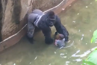 New Video Shows Gorilla Harambe Holding Hands And Protecting Little Boy