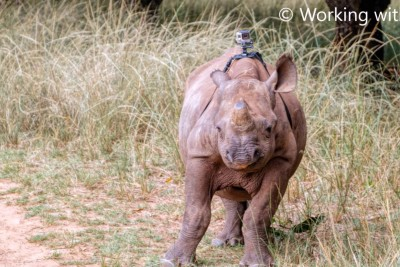 GoPro On A Critically Endangered Black Rhino