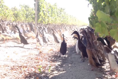 A Vineyard Employs 900 Ducks - They Just Can't Wait To Get To Work