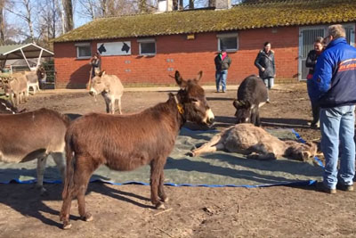 You Won't Be Able To Keep A Dry Eye When Group Of Donkeys Cry Over The Death Of Their Friend