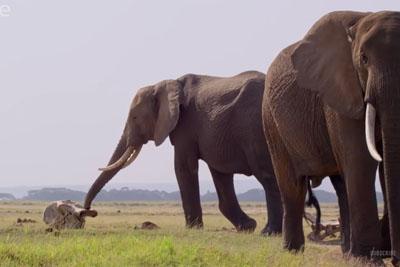 Heartbreaking Moment When Group Of Elephants Discover Elephant Bones