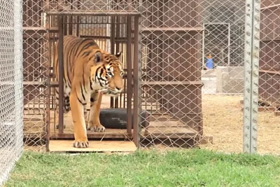 This Tiger Was Kept Illegally In Cages For Years - Now Watch The Moment He Is Released