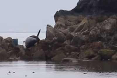 This Orca Was Stuck And Crying For Hours - See How A Group Of Strangers Save Its Life