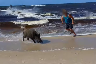 Boar Emerges From The Ocean, Starts A Rampage On Beach