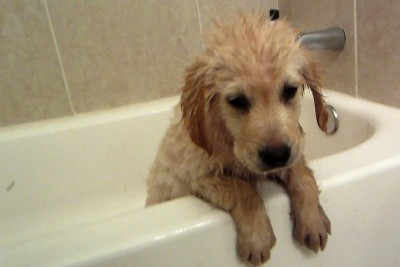 You Must See This Adorable Golden Retriever Puppy's First Bath