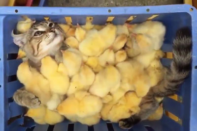 When Cat Befriends A Big Group Of Little Chickens