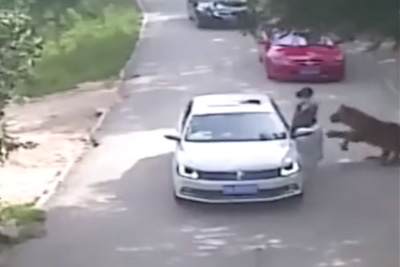 Tiger Attack In Beijing's Wildlife Park