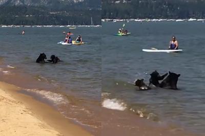 Watch Bears Take a Swim in Lake Tahoe