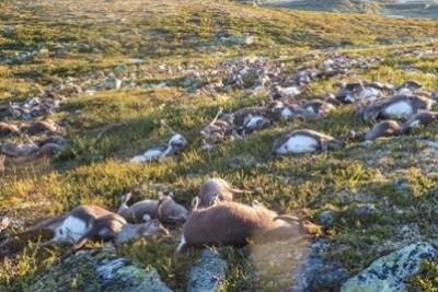 Lighting Strike Kills More Than 300 Reindeer In Norway
