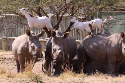 Rhinos And Goats Have A Very Unique Friendship
