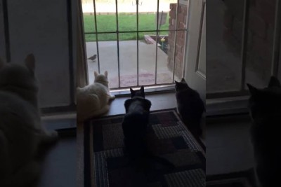 Dog Scares Cats In Most Hilarious Way