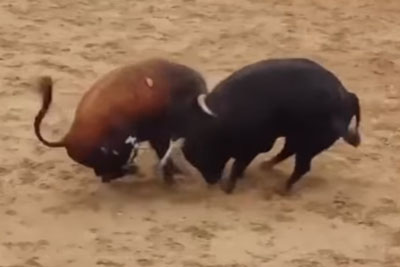 Two Bulls Kill Each Other With A 'Suicide' Impact With Heads