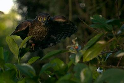 How Sparrowhawks Catch Garden Birds