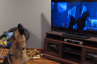 German Shepherd Howling With Wolves From Zootopia
