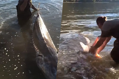 Have You Ever Seen Such A Huge Fish? Monster Sturgeon Was Caught On Fraser River In Canada