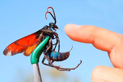 Crazy Guy Get Lets A Tarantula Hawk Sting Him