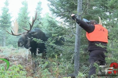 Stupid Guy Scares A Huge Bull Moose While Standing Inches Away