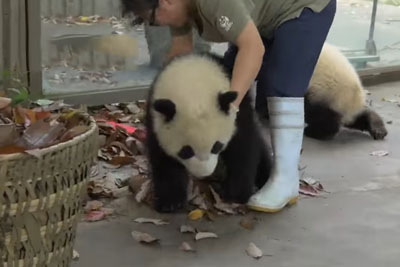 It's So Funny What Those Pandas Did When Zookeeper Cleaned The Leaves