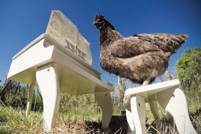 Have You Seen A Video Of Chicken Playing A Piano? Now You Have An Opportunity
