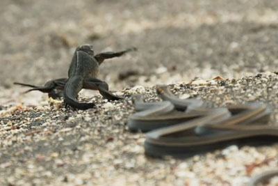Intense Footage Of Marine Iguana Hatchlings Risking Their Lives Whilst Running To The Safety