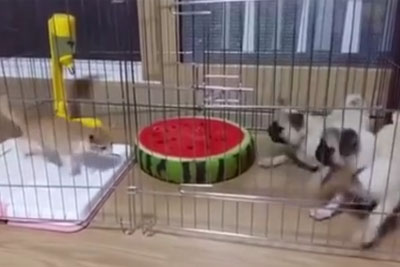 Two Puppies Have Best Reaction On Kitten In The Same Cage