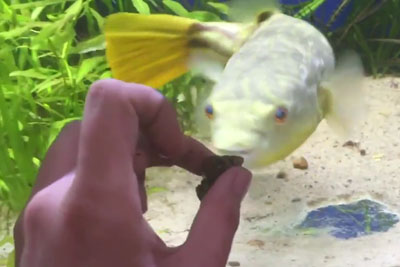 Fish Goes Crazy After Owner Shows A Food Infront Of Aquarium