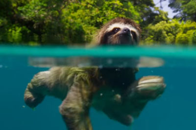 Swimming Sloth Searches For Mate But He Doesn't Find One