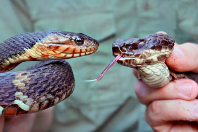 Brave Wilderness Guy Shows Us The Difference Between Poisonous Snakes And Non Poisonous One