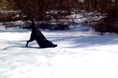 Black Labrador Dog Body Slides In The Snow