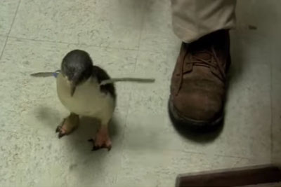 Baby Penguin Is Looking For His Friend. When He Finds Him, His Reaction Is Priceless