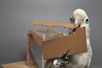 Clever Cockatoo Makes Tools In Order To Get Treat