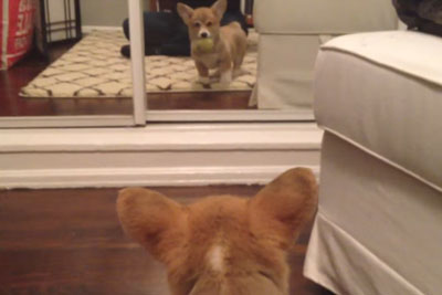 Corgi Puppy Sees A Mirror For The First Time And His Reaction Is Priceless