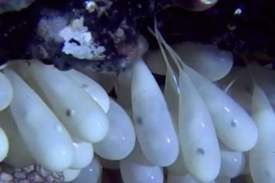 Newborn Octopuses Are As Strange And Wonderful As You Might Imagine