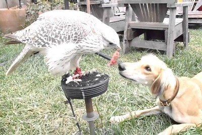 Hawk Shares A Food With His Dog Friend