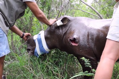 Orphaned Baby Rhino Had Been Shot By Poachers After They Killed Her Mom - Rescue Will Make You Cry