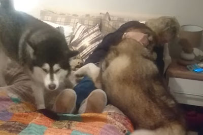 When Alaskan Malamutes Realise Grandma Is In The House