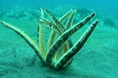 This Is How Starfish Right Themselves After Being Flipped Over